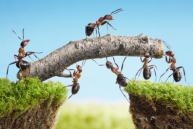 LaborNegotiations_stock-photo-17163359-team-of-ants-constructing-bridge